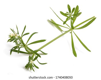 Cleavers (Galium aparine) isolated on white background