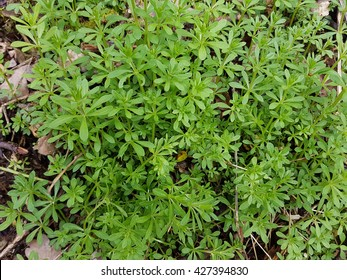Cleavers, Galium aparine, seedling, sprout