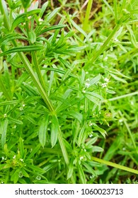 Cleavers, goosegrass or catchweed, Galium aparine, growing in Galicia, Spain