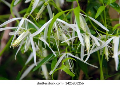 Clematis aristata, Australian clematis, wild clematis, goat's beard or old man's beard,  a climbing shrub of the Ranunculaceae family flowering in Crooked Brook Western Australia in spring  is dainty.