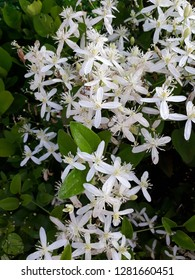 Clematis armandii also called as Armand clematis or evergreen clematis, clematic vitalba, traveller's joy,virgin's bower,old man's beard,