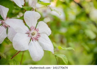 Clematis armandii. Scented evergreen spring flowering clematis with lovely pale white flowers.blooming clematis bush in summer garden.Copy space