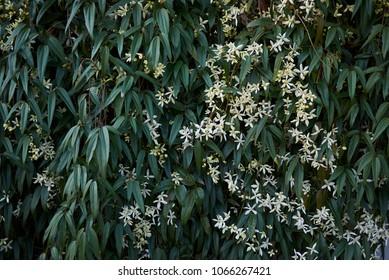 Clematis armandii white blooming