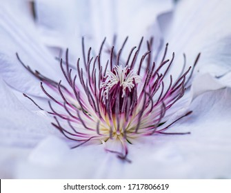 Clematis blooming in Springtime, USA