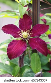 Clematis blossom violet, lilac, purple