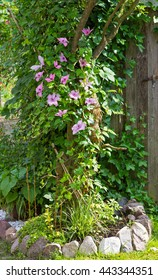 Clematis and Evy are growing in the Garden around a Tree, a example for natural garden landscaping.
