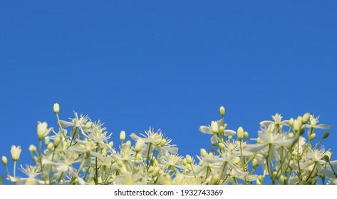 Clematis flammula flowers, known as fragrant virgin's bower on a background of blue sky. Copy space. Selective focus.