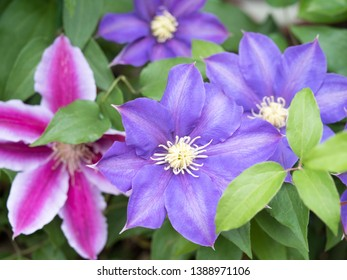 Clematis flower bloomed in the garden