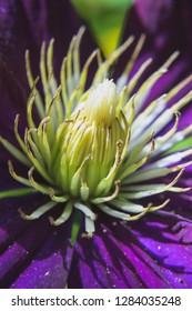 Clematis Flower Closeup