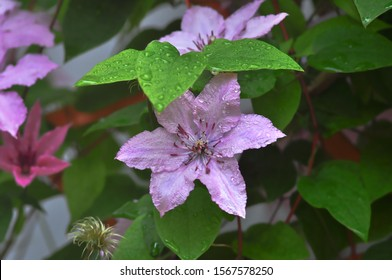 Clematis flower light lilac with water drops on a colored background with a predominance of green.