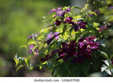 clematis flower nature garden beaty