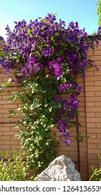 Clematis flowering vine waterfall. Masses of purple flowers climb up a fence brick wall. Large clump of violent flowers on the top of a brick fence. Large,violet flowers elegantly cascade down a fence
