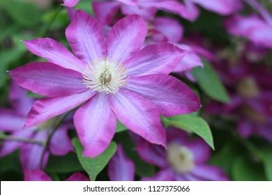Clematis flowers in garden - Shutterstock ID 1127375066