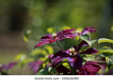 clematis flowers garden nature purple