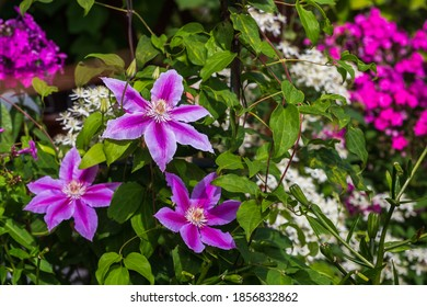 Clematis flowers on a green garden background on a Sunny summer day