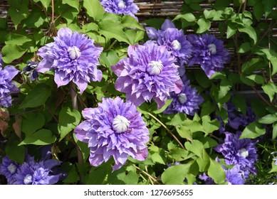 Clematis hybrid, Multi Blue