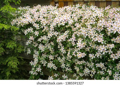 Clematis montana (mountain clematis also known as Himalayan clematis) growing on a fence in a backyard garden