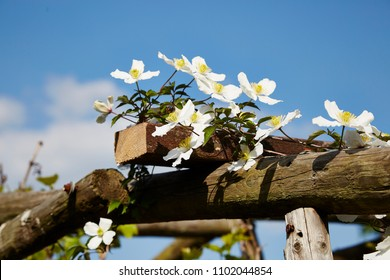 A Clematis Montana on the top of a wooden pergola,against a blue sky,