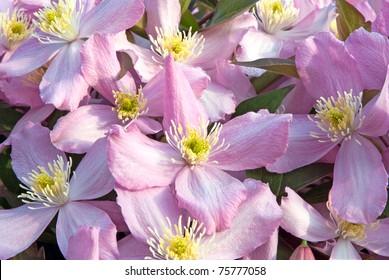 clematis montana, pink