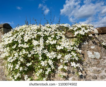 Clematis Montana Rubens growing on a cottage garden stone wall in spring.
