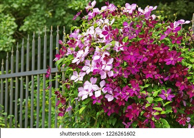 The clematis on the iron fence