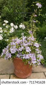 Clematis 'Parisienne' Growing in a Terracotta Flowerpot on a Patio in a Country Cottage Garden in Rural Devon, England, UK