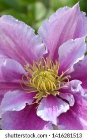 Clematis Piilu detail (Early large-flowered clematis) - Latin name - Clematis Piilu