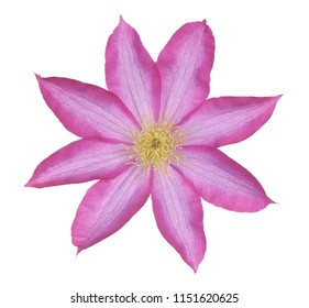 clematis pink isolate on white