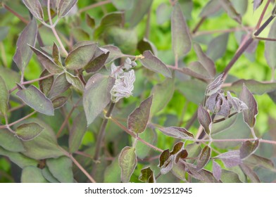 Clematis recta purpurea green foliage
