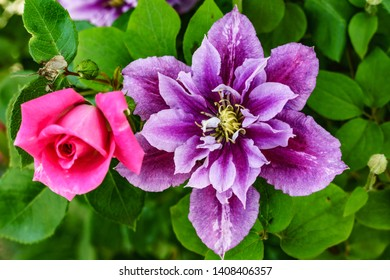 Clematis with Rose, Pink Rose
