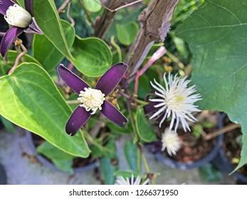 Clematis smilacifolia, White blossom of clematis