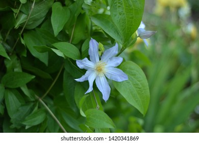 Clematis - this flower is loved for unpretentious, abundant flowering. Clematis is decorated with bright sky-blue flowers with delicate petals. By their color, they look like smoky crystal.