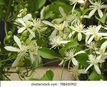 Clematis vitalba is a climbing shrub with branched, grooved stems and scented white flowers. It also known as old man's beard and traveller's joy.
