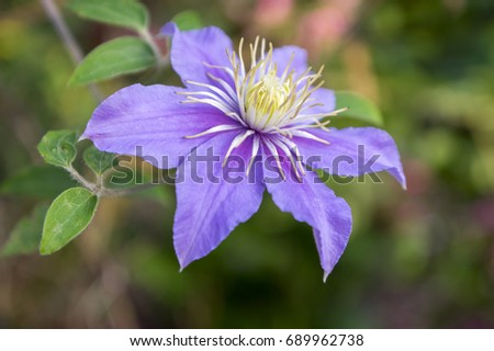 Clematis vivicella in bloom
