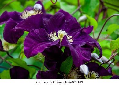 """The Clematis """"Warszawska Nike"""" Ranunculaceae"""
