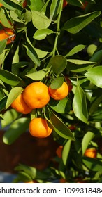 A clementine (Citrus × clementina) is a tangor, a hybrid between a willowleaf mandarin orange (C. × deliciosa) and a sweet orange (C. × sinensis).
