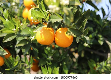 Clementine of Corsica on a tree - South of France