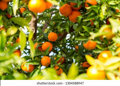 Clementines on a fruit tree