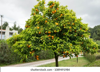 Clementines in the tree  in Halkidiki, Greece