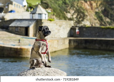 """Cleo the Jug with a tall ship behind her, Cornwall, UK. Cleo is a popular dog because she is a good example of the breed """"Jug"""", a cross between a Pug and a Jack Russel."""