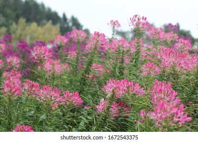 Cleome Hassleriana or spider flower, spider plant, pink queen in Tomita farm in Furano, Japan
