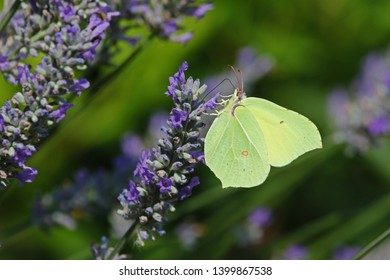 Cleopatra not a brimstone or clouded yellow butterfly closeup on a purple lavender flower in Italy. Latin name gonepteryx cleopatra rhamni from pieridae group with yellow flash on wings