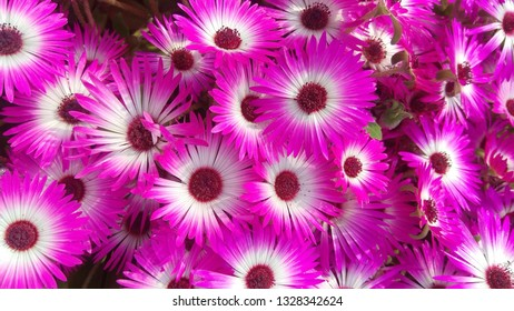 Cleretum bellidiformis, commonly called Livingstone daisy, Bokbaaivygie, or Buck Bay vygie, is a species of flowering plant in the family Aizoaceae, native to the Cape Peninsula in South Africa.