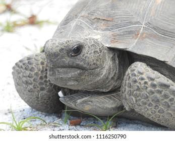 Clermont, FL / USA - 6/16/18: Gopher Tortoise