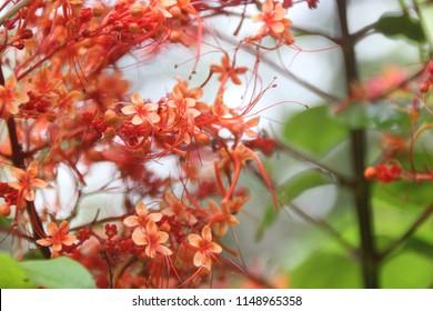 Clerodendrum Paniculatum, Pagoda Flower(Krishnakireedam/ aarumaasam in Malayalam)