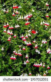 Clerodendrum Species, Bleeding Heart Vine, Glory Bower, Tropical Bleeding Heart