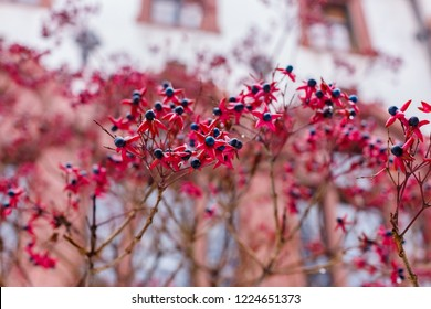 Clerodendrum Trichotomum or Harlequin Glorybower or Harlequin Glory bower Flowers and  Fruit, after snowfall, in the winter, Germany.