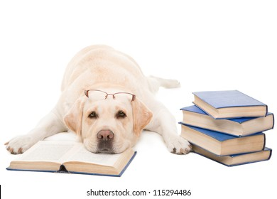 clever dog, pale-yellow labrador retriever with glasses reading books on  isolated white background