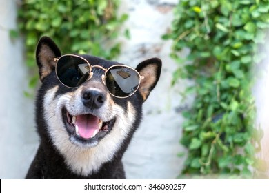 Clever and happy shiba inu dog with sunglasses