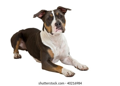 clever staffordshire terrier